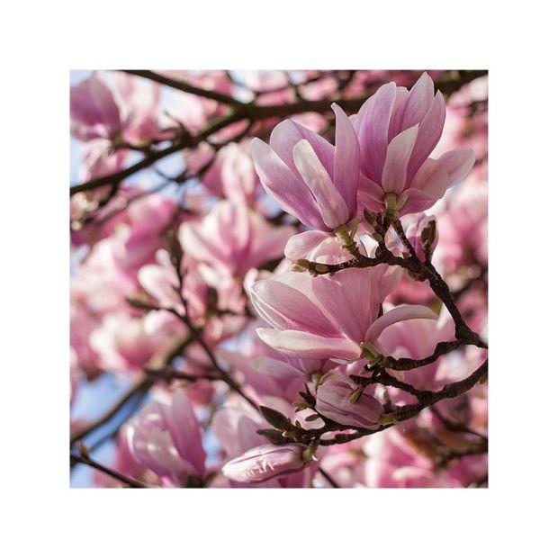 Tak popularne w Szczecinie piękne magnolie. Autor zdjęcia: Robert Jachim