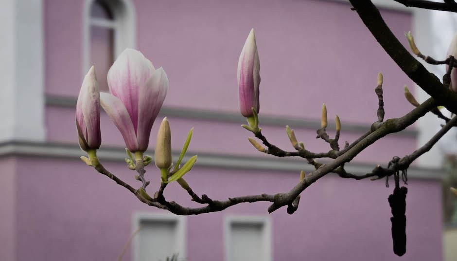 W końcu skierowałem się w kierunku śniadania (coraz bardziej głodny), po drodze na Piotra Skargi kwitnące magnolie.
