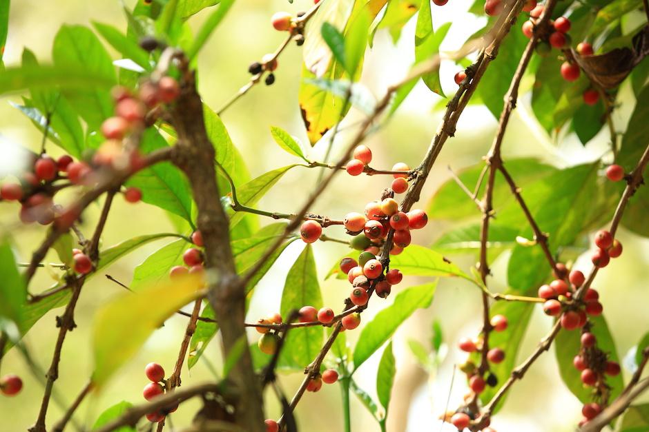 Tak właśnie wyglądają owoce na drzewie kawowym.